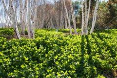 Árvores de vidoeiro branco americanas - papyrifera da bétula Fotos de Stock