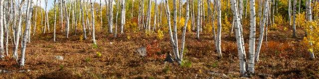 Árvores de vidoeiro branco americanas - papyrifera da bétula Imagem de Stock Royalty Free