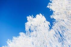 Árvores de vidoeiro branco com a geada contra o céu azul Fotografia de Stock