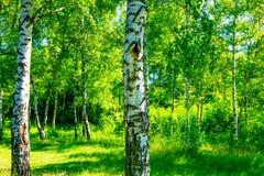 Árvores de vidoeiro branco na floresta Fotos de Stock Royalty Free