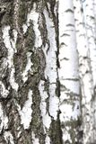 Árvores de vidoeiro com a casca de vidoeiro preto e branco imagens de stock