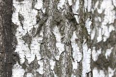 Árvores de vidoeiro com a casca de vidoeiro preto e branco foto de stock royalty free
