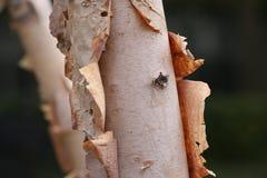 Árvores de vidoeiro da casca Foto de Stock Royalty Free