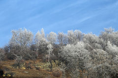 Árvores de vidoeiro de prata na manhã do inverno dentro fotografia de stock