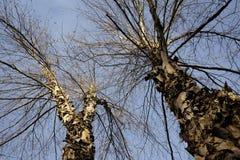 Árvores de vidoeiro do rio contra o céu fotos de stock royalty free