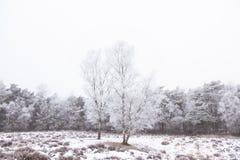 Árvores de vidoeiro e floresta do pinho coberta no rhime e na neve Fotografia de Stock