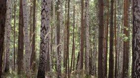 Árvores de vidoeiro em troncos da luz do sol brilhante de árvores de vidoeiro no birchwood Birchwood brilhou com o sol Paz e silê video estoque