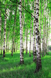 Árvores de vidoeiro em uma floresta Fotos de Stock Royalty Free