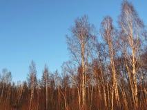 Árvores de vidoeiro na floresta, Lituânia Imagens de Stock