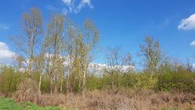 Árvores de vidoeiro na mola imagens de stock