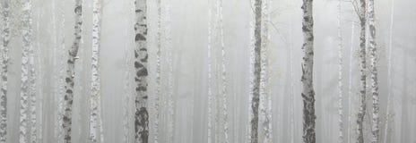 Árvores de vidoeiro no bosque do vidoeiro imagens de stock royalty free