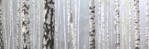 Árvores de vidoeiro no bosque do vidoeiro imagem de stock royalty free