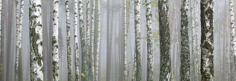 Árvores de vidoeiro no bosque do vidoeiro imagem de stock