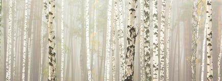 Árvores de vidoeiro no bosque do vidoeiro foto de stock royalty free