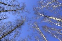 Árvores de vidoeiro foto de stock royalty free