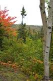 Árvores de vidoeiro, Nova Escócia imagens de stock royalty free