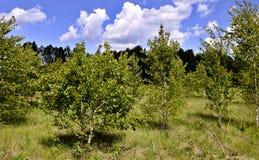 Árvores de vidoeiro novas no fundo do céu azul com nuvens brancas Imagem de Stock Royalty Free