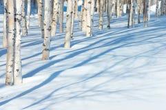 Árvores de vidoeiro novas no parque foto de stock
