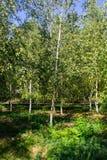 Árvores de vidoeiro novas no parque da cidade Fotos de Stock