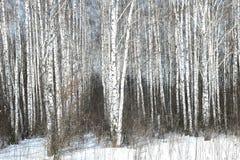 Árvores de vidoeiro preto e branco fotos de stock
