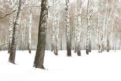 Árvores de vidoeiro preto e branco imagem de stock