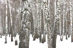 Árvores de vidoeiro preto e branco fotografia de stock royalty free
