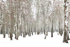 Árvores de vidoeiro preto e branco imagem de stock royalty free