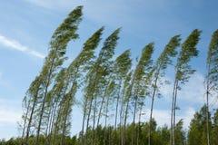Árvores de vidoeiro de sopro do forte vento Imagens de Stock