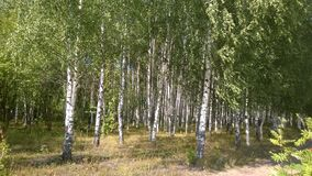 Árvores de vidoeiro, verão, folha, bosque, muitas árvores, vegetação densa, troncos brancos Imagens de Stock