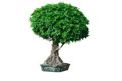 Árvores decorativas Fotos de Stock Royalty Free