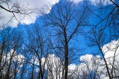 Árvores desencapadas Fotografia de Stock Royalty Free