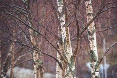 Árvores desencapadas na névoa Fotos de Stock