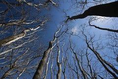 Árvores desencapadas que alcangam para o céu azul profundo Imagens de Stock Royalty Free