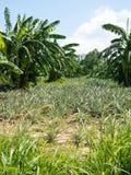Árvores do abacaxi e de banana fotografia de stock