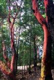 Árvores do Arbutus ao longo da fuga através das árvores, parque provincial do lago spider, BC imagem de stock