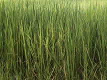 Árvores do arroz Foto de Stock