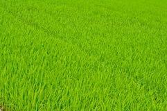 Árvores do arroz   na exploração agrícola Foto de Stock Royalty Free