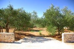 Árvores do bosque verde-oliva, Croatia Dalmácia Foto de Stock Royalty Free