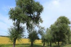 Árvores do campo e de salgueiro do arroz foto de stock