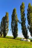Árvores do Cottonwood foto de stock royalty free