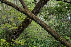 Árvores do cruzamento imagens de stock