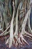 Árvores do encanamento Fotografia de Stock Royalty Free
