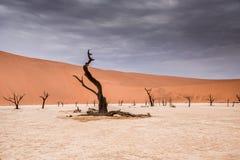 Árvores do espinho do camelo em Sossusvlei em Namíbia imagem de stock
