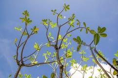 Árvores do Frangipani Imagem de Stock Royalty Free