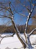 Árvores do inverno Imagem de Stock Royalty Free