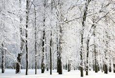 Árvores do inverno Fotos de Stock