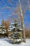 Árvores do inverno cobertas com a neve contra o céu azul Imagem de Stock Royalty Free