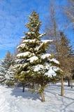 Árvores do inverno cobertas com a neve contra o céu azul Imagens de Stock