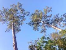 Árvores do inverno de Tailândia Fotografia de Stock