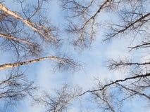 Árvores do inverno no céu azul Fotos de Stock Royalty Free